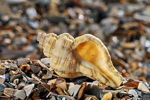Oyster drill / Sting winkle / Hedgehog Murex (Ocenebra erinacea) shell on beach, Mediterranean, France  -  Philippe Clement