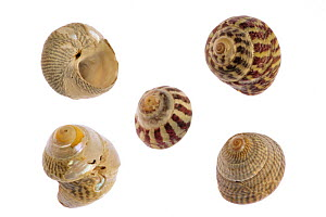 Collection of Trochidae with Pennant's top shell (Gibbula pennanti), Flat top shell (Gibbula umbilicalis) and Grey top shell (Gibbula cineraria), Normandy, France  -  Philippe Clement