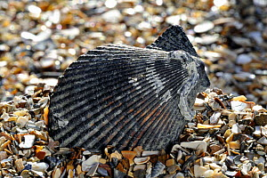 Variegated scallop (Chlamys varia / Mimachlamys varia) shell on beach, Normandy, France  -  Philippe Clement
