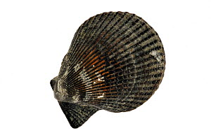 Variegated scallop (Chlamys varia / Mimachlamys varia) shell, Normandy, France  -  Philippe Clement