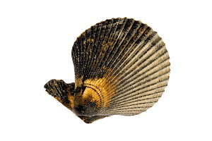 Variegated scallop (Chlamys varia / Mimachlamys varia) shells, Mediterranean, France  -  Philippe Clement