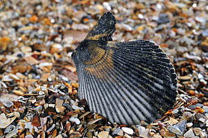 Variegated scallop (Chlamys varia / Mimachlamys varia) shell on beach, Mediterranean, France  -  Philippe Clement
