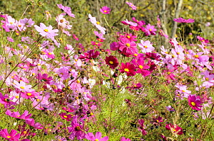 Pink and white Mexican aster (Cosmos bipinnatus) flowers, a garden escape, growing in profusion in Gascony, France. 2008 - Nick Upton