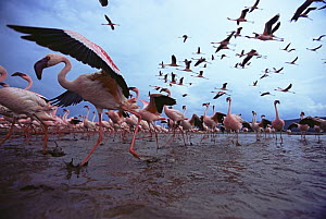 Low level view of Lesser flamingos taking off and flying (Phoeniconaias minor). Wide angle perspective. Lake Nakuru National Park, Kenya. July 2007.  -  Anup Shah