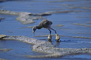 Lesser flamingo {Phoeniconaias minor} chick with legs coated in mineral / mud deposits, Lake Nakuru NP, Kenya - Anup Shah