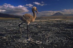 Lesser flamingo {Phoeniconaias minor} solitary chick on lake shore with no water, Lake Nakuru NP, Kenya - Anup Shah