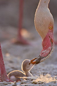 Lesser flamingo {Phoeniconaias minor} feeding chick at nest, Lake Nakuru NP, Kenya - Anup Shah