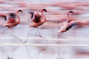 Lesser flamingo {Phoeniconaias minor} running, about to take off, Lake Nakuru NP, Kenya - Anup Shah