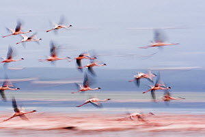 Flock of Lesser flamingo {Phoeniconaias minor} in flight, Lake Nakuru NP, Kenya - Anup Shah