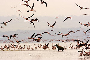 Spotted hyaena {Crocuta crocuta} amongst flock of Lesser flamingo {Phoeniconaias minor} Lake Nakuru NP, Kenya - Anup Shah