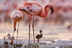 Lesser flamingo {Phoeniconaias minor} adults and chicks at nest, Lake Nakuru NP, Kenya  -  Anup Shah