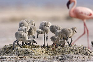 Lesser flamingo {Phoeniconaias minor} group of chicks on nest, Lake Nakuru NP, Kenya  -  Anup Shah