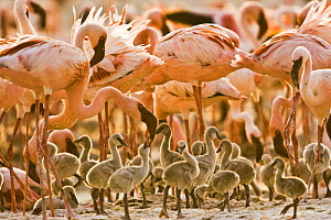 Lesser flamingo {Phoeniconaias minor} adults and chicks, Lake Nakuru NP, Kenya  -  Anup Shah