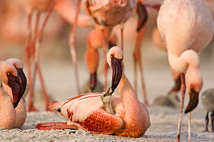 Lesser flamingo {Phoeniconaias minor} adult feeding chick, Lake Nakuru NP, Kenya - Anup Shah