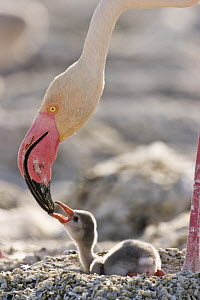 Lesser flamingo {Phoeniconaias minor} adult feeds chick on nest, Lake Nakuru NP, Kenya - Anup Shah