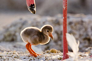 Lesser flamingo {Phoeniconaias minor} chick beside legs of adult, Lake Nakuru NP, Kenya  -  Anup Shah