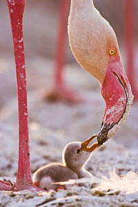 Lesser flamingo {Phoeniconaias minor} chick begging adult for food, Lake Nakuru NP, Kenya  -  Anup Shah