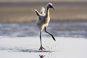 Lesser flamingo {Phoeniconaias minor} chick running flapping wings, Lake Nakuru NP, Kenya - Anup Shah