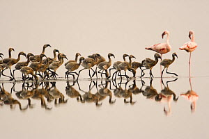 Lesser flamingo {Phoeniconaias minor} large group of juveniles / chicks in water, Lake Nakuru NP, Kenya - Anup Shah