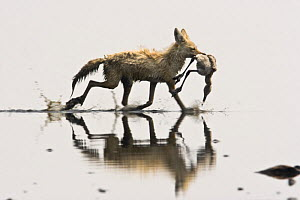 Golden jackal {Canis aureus} carrying dead Lesser flamingo {Phoeniconaias minor} Lake Nakuru NP, Kenya  -  Anup Shah