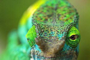 Parson's chameleon (Chamaeleo parsonii) close-up showing eyes facing different directions, Madagascar - Edwin Giesbers
