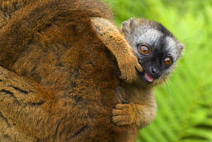 Red fronted brown lemur (Lemur fulvus rufus) baby peering out from behind mother with finger in its mouth, Madagascar - Edwin Giesbers