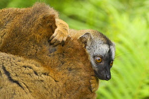 Red fronted brown lemur (Lemur fulvus rufus) baby peering out from behind mother, Madagascar - Edwin Giesbers