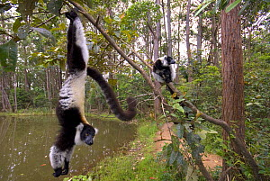 Black and white ruffed lemur (Varecia variegata variegata) hanging from branch with another one sitting on a branch, captive, Madagascar  -  Edwin Giesbers