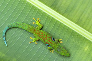 Peacock day gecko (Phelsuma quadriocellata) on leaf, Madagascar - Edwin Giesbers