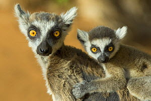 Ring-tailed lemur (Lemur catta) with young, Berenty Reserve, Madagascar - Edwin Giesbers