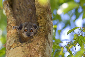 White footed sportive lemur (Lepilemur leucopus) looking out from a hole in a tree, Berenty reserve, Madagascar - Edwin Giesbers