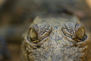 Nile Crocodile (Crocodylus niloticus) close-up of top of head, captive, Madagascar  -  Edwin Giesbers