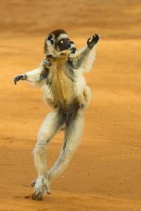 Verreaux's sifaka (Propithecus verreauxi) running with young on back, Berenty Reserve, Madagascar  -  Edwin Giesbers