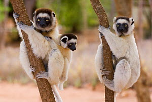 Two Verreaux's sifakas (Propithecus verreauxi) adults with a baby up trees, Berenty Reserve, Madagascar  -  Edwin Giesbers