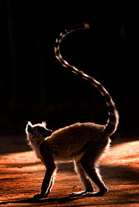 RF- Ring-tailed lemur (Lemur catta) with tail in the air silhouetted in light, Berenty Reserve, Madagascar, Africa. (This image may be licensed either as rights managed or royalty free.)  -  Edwin  Giesbers