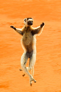 RF- Verreaux's sifaka (Propithecus verreauxi) running,  Berenty reserve, Madagascar, Africa. (This image may be licensed either as rights managed or royalty free.)  -  Edwin  Giesbers