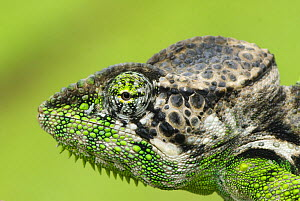 Oustalet's chameleon (Furcifer oustaleti) close-up of head, Madagascar  -  Edwin Giesbers