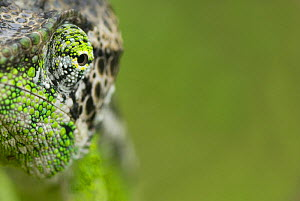 Oustalet's chameleon (Furcifer oustaleti) close-up of face, Madagascar  -  Edwin Giesbers