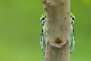 Oustalet's chameleon (Furcifer oustaleti) eyes visible either side of the branch it is on, Madagascar  -  Edwin Giesbers
