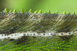 Oustalet's chameleon (Furcifer oustaleti) close-up of the spines on its back, Madagascar  -  Edwin Giesbers