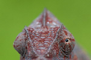 Oustalet's chameleon (Furcifer oustaleti) female with eyes pointing different directions, Madagascar  -  Edwin Giesbers