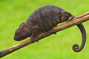Oustalet's chameleon (Furcifer oustaleti) female on branch, Madagascar  -  Edwin Giesbers