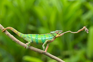 Panther chameleon (Furcifer pardalis) cathing prey with tongue, sequence 2/4, Madagascar  -  Edwin Giesbers