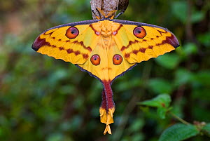 RF- Madagascar moon moth (Argema mittrei), Madagascar, Africa. (This image may be licensed either as rights managed or royalty free.)  -  Edwin  Giesbers