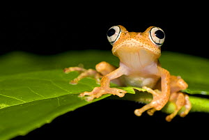 Frog (Boophis sp) on leaf, Madagascar - Edwin Giesbers