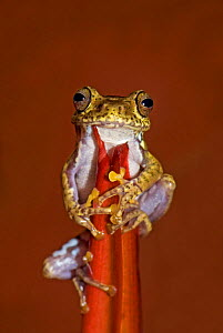 Frog (Boophis idae) on Heliconia flower, Madagascar  -  Edwin Giesbers