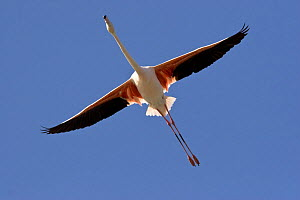 Greater flamingo (Phoenicopterus ruber) in flight over Camargue, France - Angelo Gandolfi