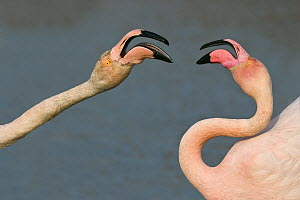 Greater flamingo (Phoenicopterus ruber) Camargue, France - Angelo Gandolfi