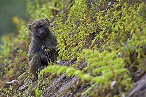 Olive / Anubis baboon (Papio anubis) young sitting on steep slope, Kaffa, Southern Ethiopia, East Africa December 2008 - Bruno D'Amicis