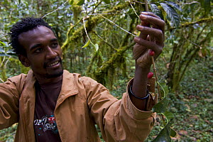 Man examines Wild coffee (Coffea arabica) beans in the forest of Mankira,  Kaffa, Southern Ethiopia, East Africa December 2008 - Bruno D'Amicis